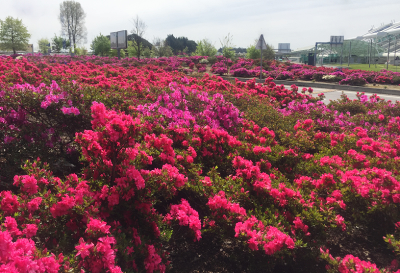 Azaleas outside Porto Airport in April