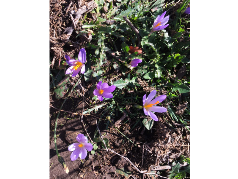 Crocuses amongst the brandas of Santo Antonio de Val de Poldros