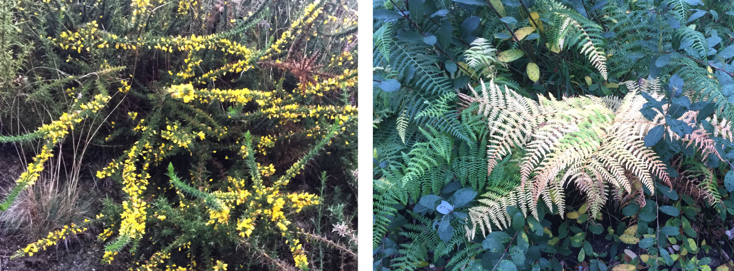 Yellow gorse in bloom and a fading bracken frond