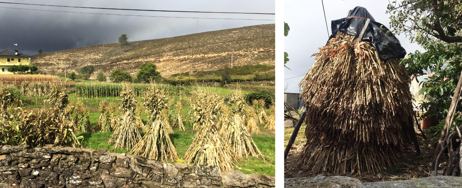 Maize in the fields, stooks of drying maize stalks and stack