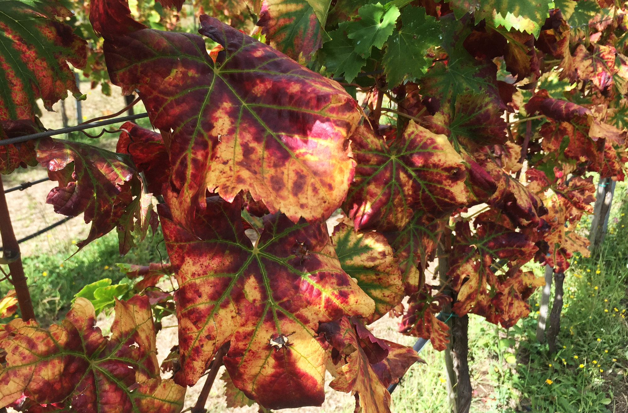 Red vine leaves in autumn