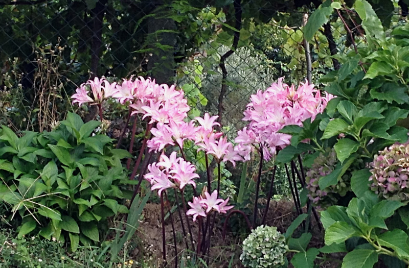 Pink lilies known in Portugal as 'school girls'