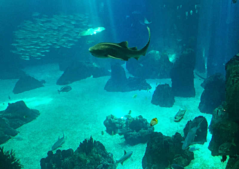 shark swimming in the oceanarium