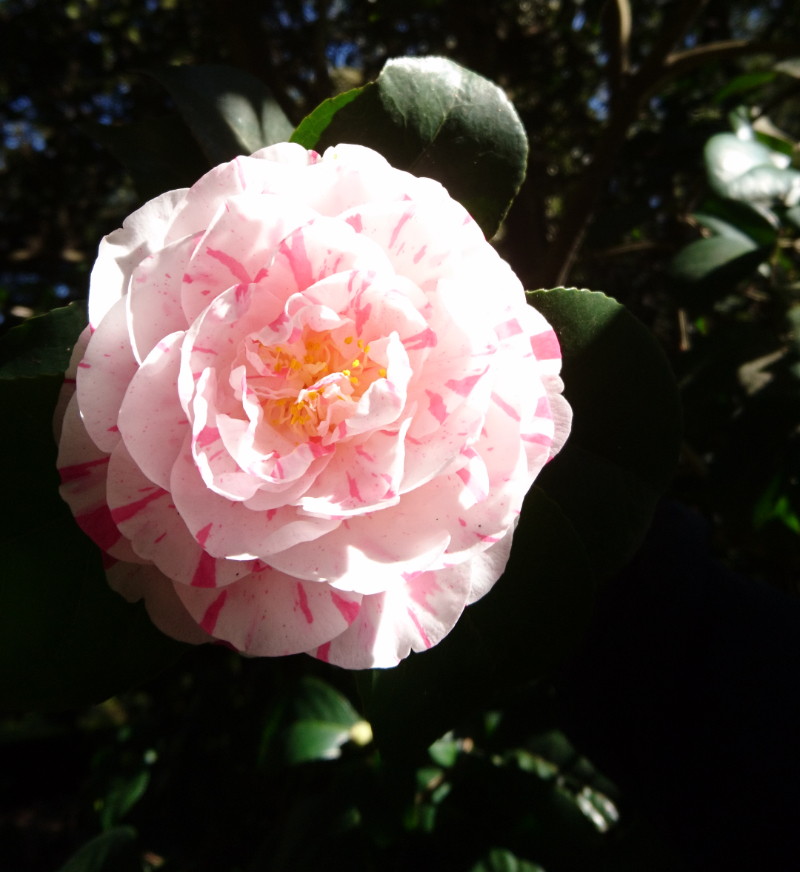 Single camellia bloom