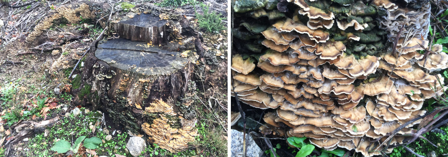 an old stump covered in fungi and a close-up of some fawn plate ones