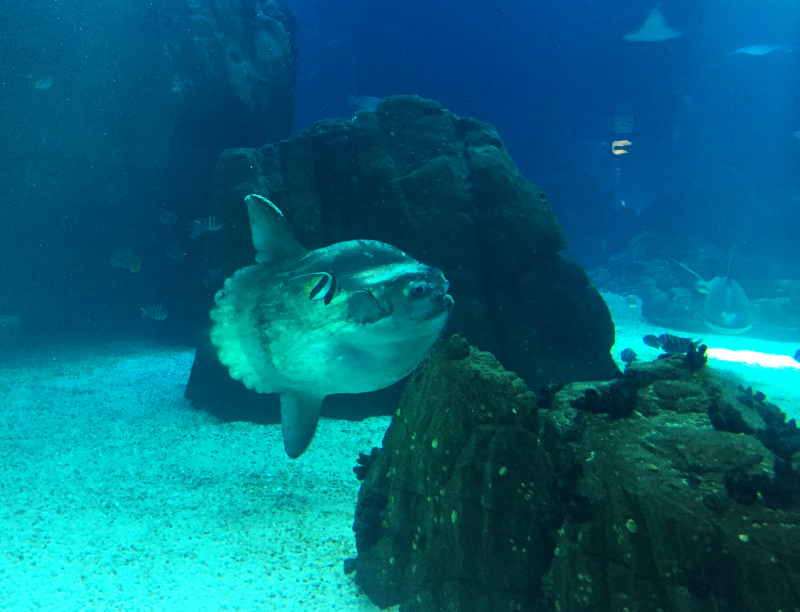 Sun fish with the crazy tail and fins