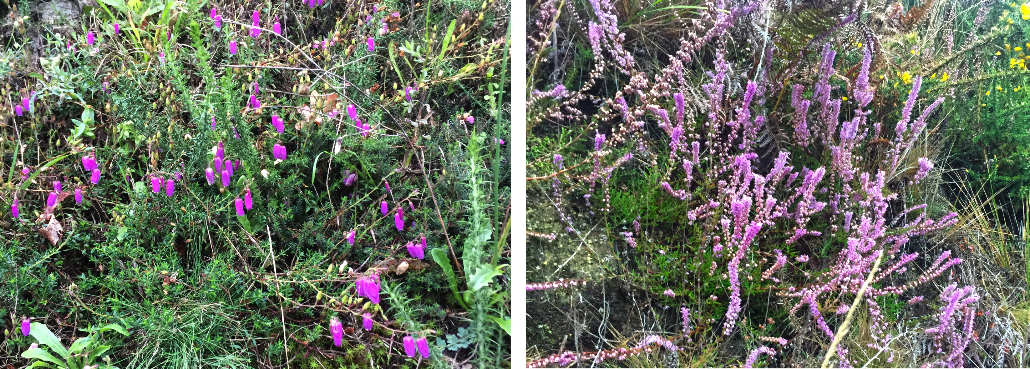 two kinds of heather, bell and ling, provide a splash of colour