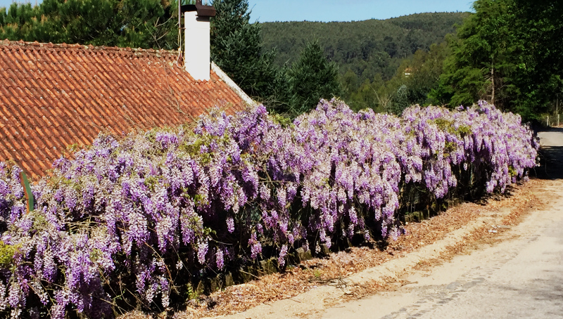 Wisteria hedge all along a the edge of a farm in Calheiros