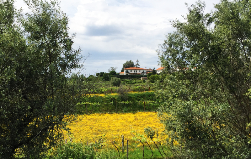 a field full of yellow wild flowers in the Minho